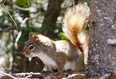Elizabethtown Squirrel Removal
